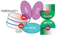 MPP8 fastens the two methylating enzymes together.